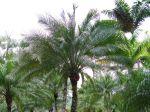 Palmiers exotiques (île Maurice)