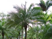 Palmiers, bananiers et cycas
