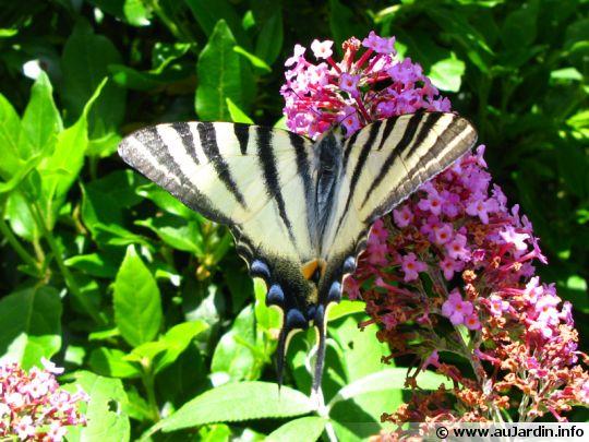 Attirer les papillons dans son jardin