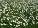 10 plantes sauvages comestibles