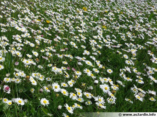 Les fleurs de pâquerettes peuvent être consommées
