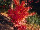Arbre de fer, Parrotie de Perse, Parrotia persica