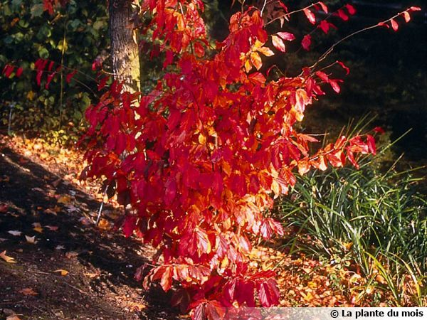 Parrotia persica, Arbre de fer, Parrotie de Perse