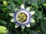 Passiflore bleue, passiflora caerulea