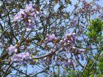 Paulownia tomentosa, Arbre impérial