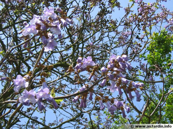 Arbre imp rial paulownia tomentosa planter cultiver - Arbre fleur mauve printemps ...
