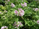 Des géraniums aux feuillages odorants