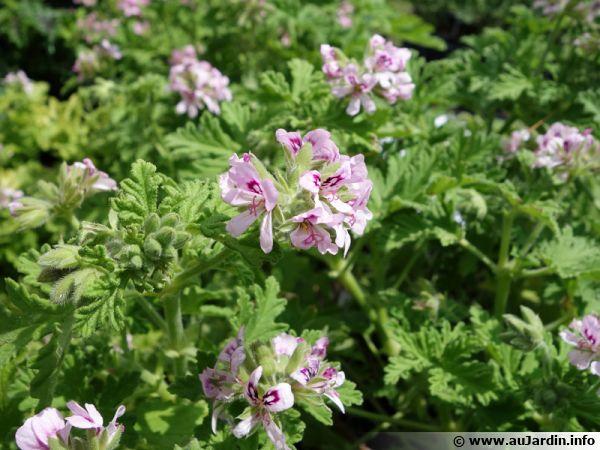 Le célèbre Pelargonium graveolens dans ces obtentions horticoles