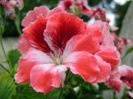 Géranium des fleuristes, Pélargonium régal, Géranium à grandes fleurs, Pelargonium x domesticum
