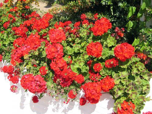 g ranium zonale pelargonium x hortorum planter cultiver. Black Bedroom Furniture Sets. Home Design Ideas