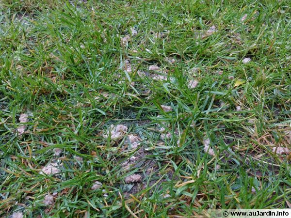 Engrais étalé sur la pelouse