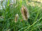 Herbe queues de lapins rouges, Pennisetum messiacum