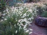 Herbe aux écouvillons, Pennisetum villosum