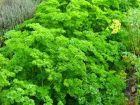 Persil frisé, Petroselinum crispum var. crispum