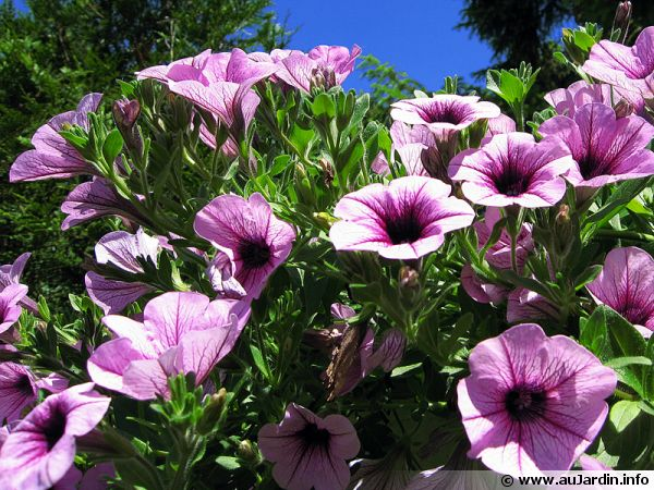 P tunia petunia x planter cultiver multiplier for Fleur qui ne gele pas