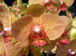 Fleur de Phalaenopsis