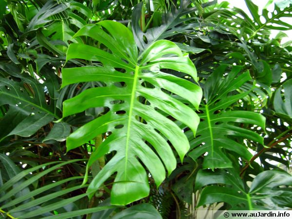 Philodendron conseils de culture for Plante interieur