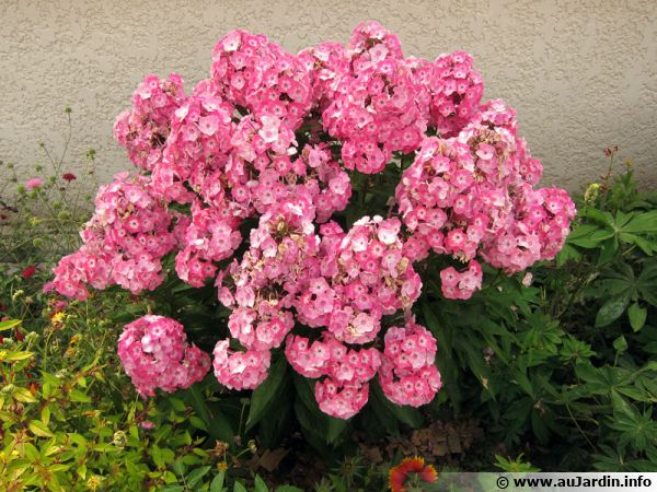 phlox panicul phlox vivace phlox paniculata planter cultiver. Black Bedroom Furniture Sets. Home Design Ideas
