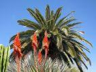 Le palmier dattier des Canaries est un sujet au fort pouvoir ornemental qui s'est naturalisé dans le sud de la France