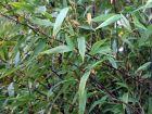 Bambou noir, Phyllostachys nigra