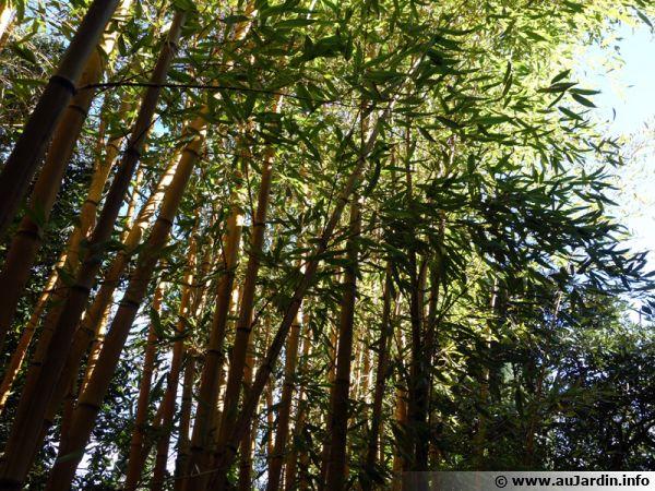 Bambou, Phyllostachys sulphurea