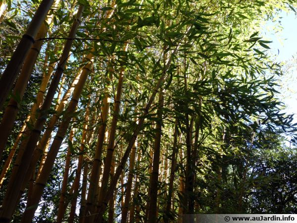 Les plantes à rhizomes traçants