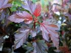 Physocarpe à feuille d'Obier, Physocarpus opulifolius