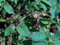 Mildiou de la tomate et de la pomme de terre, Phytophthora infestans