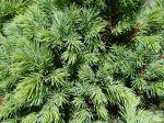 Epicea glauque, Epinette blanche, Sapin du Canada, Picea glauca