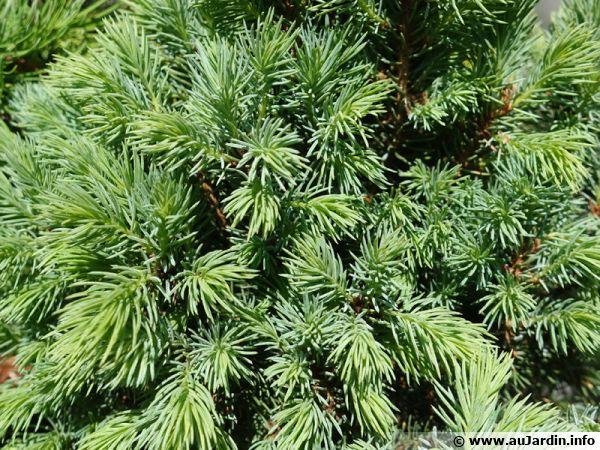 Epicea glauque nain ou Picea glauca var. 'Blue' est une espèce naine bleutée