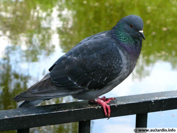 Bien démarrer un élevage de pigeons