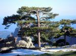 Pin laricio de Corse, Pinus nigra var. corsicana