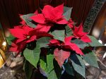 Comment arroser le poinsettia ?