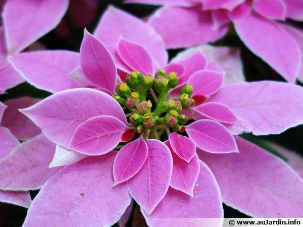 Choisissez bien votre étoile de Noël dans les jardineries