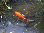 Le poisson rouge, un classique du bassin
