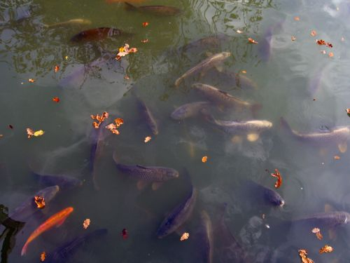 Les poissons de bassin for Vente de poisson de bassin
