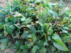 Renouée bistorte, Persicaria bistorta