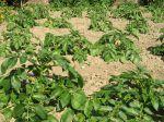 Questions fréquentes sur la pomme de terre