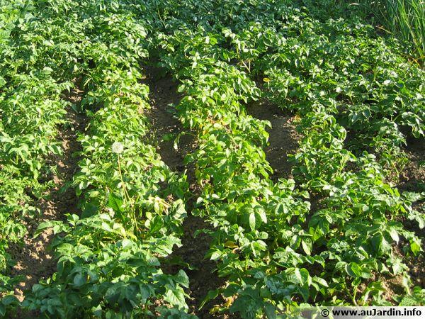 Potager et ses rangs de pommes de terre