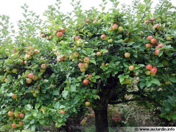 Les soins a apporter aux pommiers pour une bonne r�colte