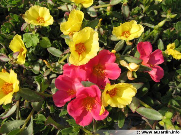 Pourpier Portulaca Planter Cultiver Multiplier