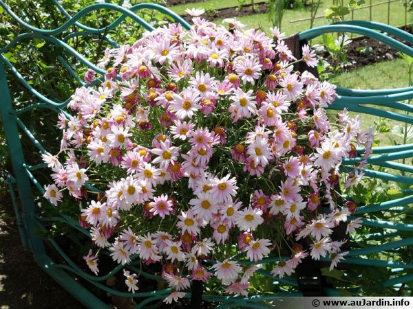 Une potée fleurie qui résiste mieux aux fortes chaleurs gràce aux rétenteurs d'eau