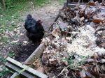 La fiente de poule, un engrais naturel et de qualité