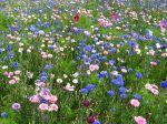 Les prairies fleuries