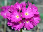 Fleur de Primula denticulata