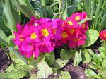 Primev�re des jardins, Primula x acaulis