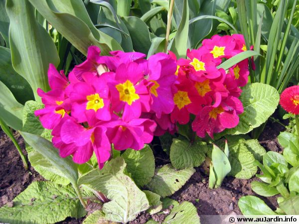 Primevère des jardins, Primula x acaulis