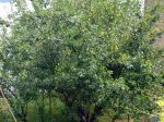 Les porte-greffes du prunier