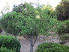 Amandier (Amande), Prunus amygdalus