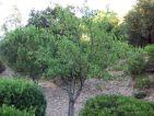 Prunus dulcis (amandier)